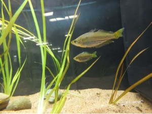 Some Western Rainbow fish in the class aquarium.